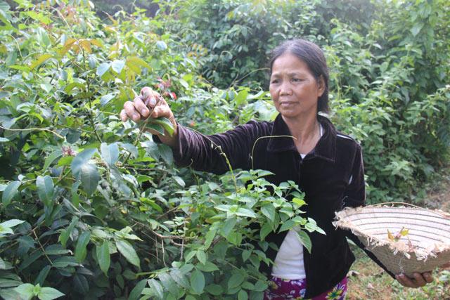Tranh thủ lúc lên nương, người dân miền núi huyện Ba Tơ thường tìm hái lá xuân về bán.