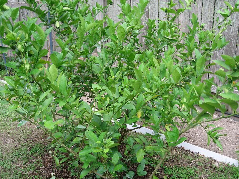 Trong quá trình cây phát triển cần bón lót và bón thúc cho cây