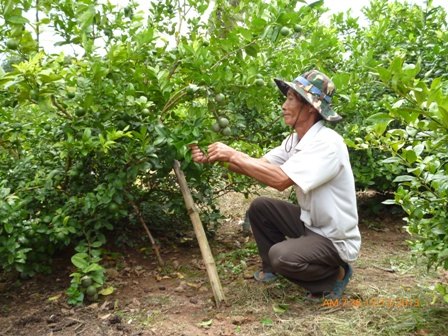 Kỹ thuật trồng cây chanh không thể thiếu khâu chăm sóc và phòng trừ sâu bệnh