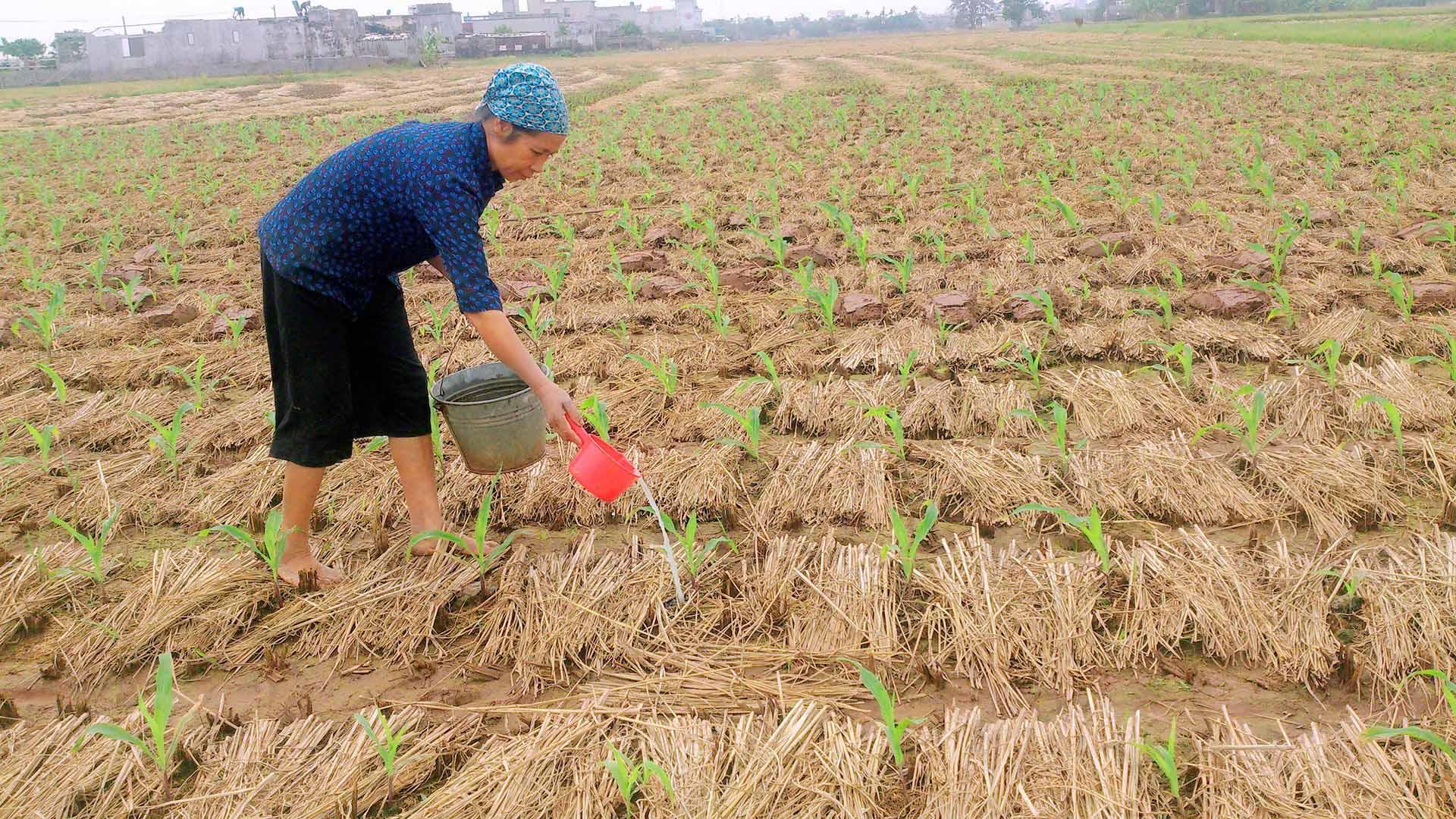 Chăm sóc, bón phân, tưới nước là khâu quan trọng trong kỹ thuật trồng cây ngô