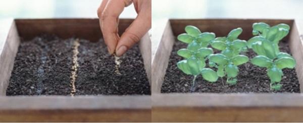 Kỹ thuật trồng cây rau thơm có thể bằng cách gieo hạt hoặc giâm cành
