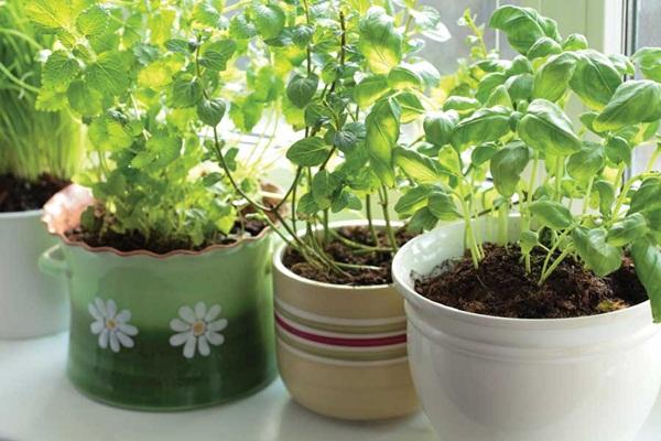 Các loại rau thơm có kỹ thuật trồng cây đơn giản, dễ trồng